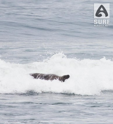Sealion surfing in yakutat alaska